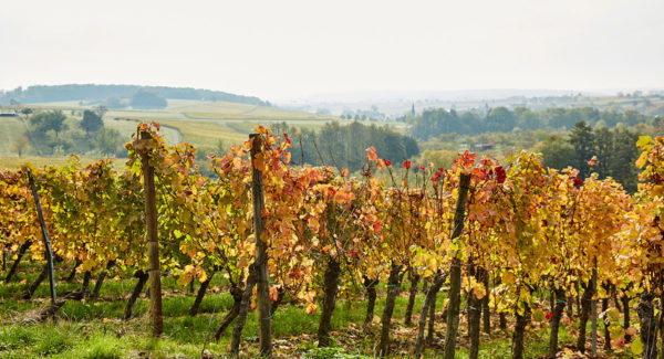 Hannesacker de Rott  - Vin et Crémant d'Alsace - Cleebourg