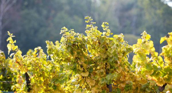 Oberberg de Steinseltz - Vin et Crémant d'Alsace - Cleebourg